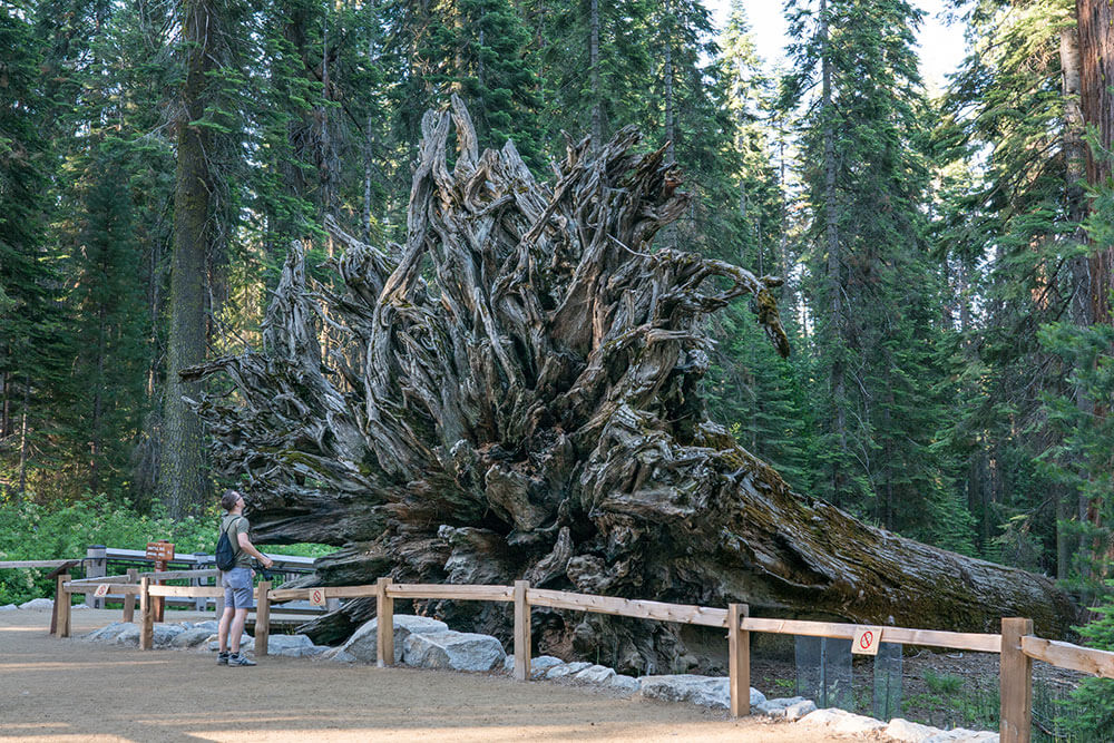 Fallen Monarch in the Mariposa Grove of Giant Sequoias