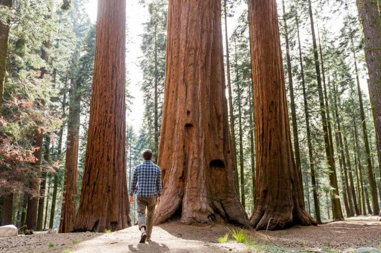 Mariposa Grove Reopens in June