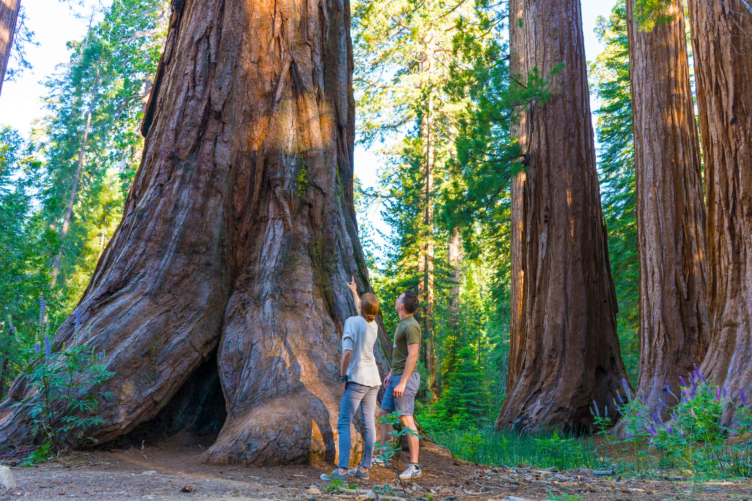 Free Yosemite Park Pass + Giant Sequoia Seedling Offer