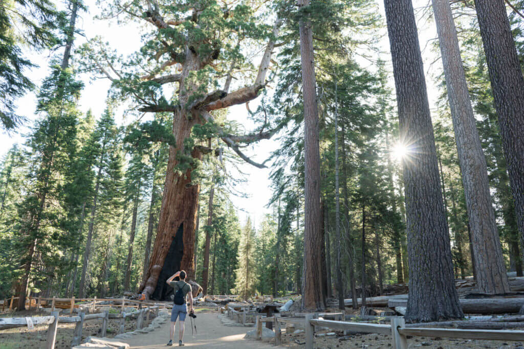Mariposa Grove, Grizzly Giant, Yosemite