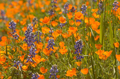 Yosemite wildflowers in spring - poppies and lupines