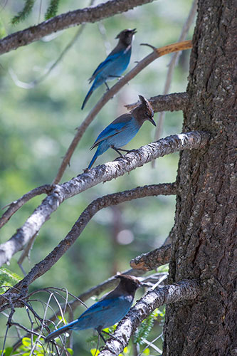 3 Steller's Jays in a tree