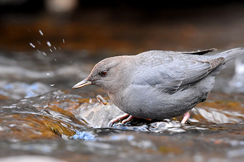 American Dipper or Water Ouzel in the stream