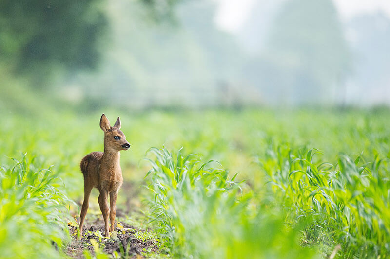 Fawn in meadow