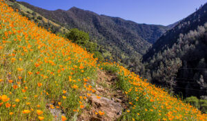 Hite Cove Trail with California Poppies