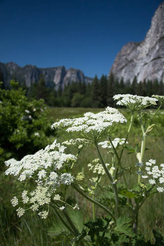 White cow parsnip flowers in Cooks Meadow